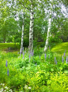 Lupin flowers and Birch trees